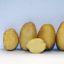 Сорт картофеля для Средневолжского региона - Вершининский