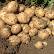 Сорт картофеля для Уральского региона - Воларе