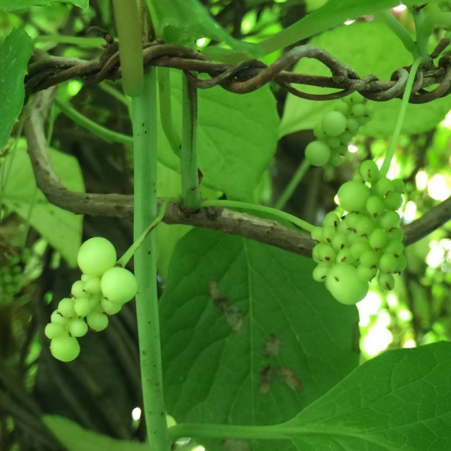 Незрелые ягоды лимонника китайского