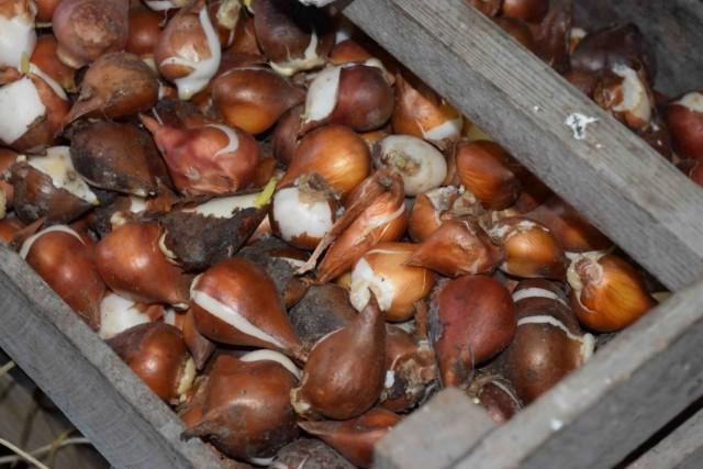 Хранение луковиц тюльпанов перед высадкой в грунт