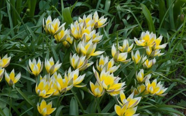 Тюльпан поздний (Tulipa tarda)