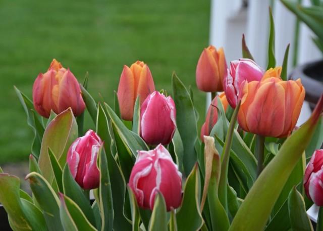 Выращивание тюльпанов