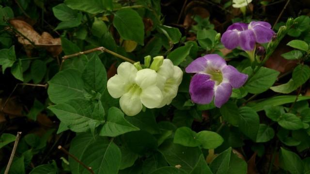 Азистазии прекрасные с белыми и голубыми цветками