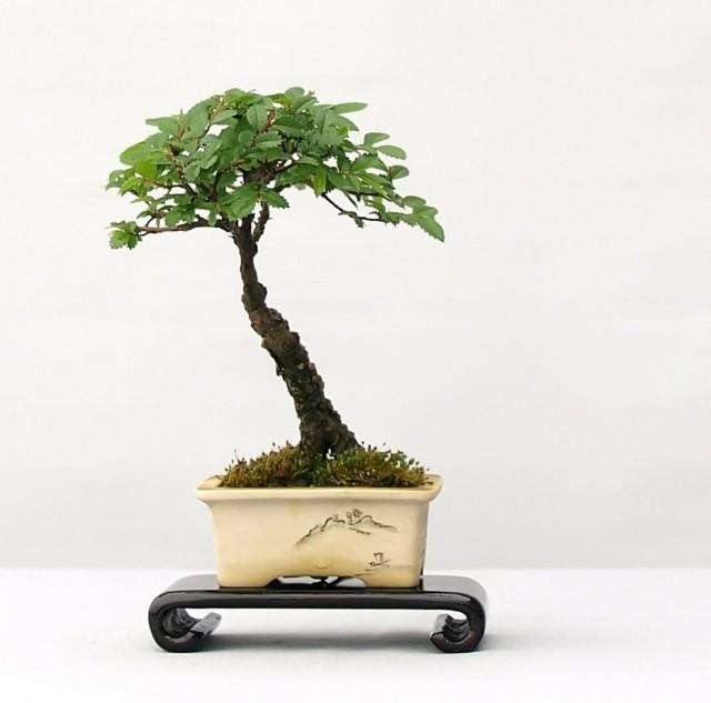 Выращивание вяза мелколистного в комнатных условиях в форме бонсай