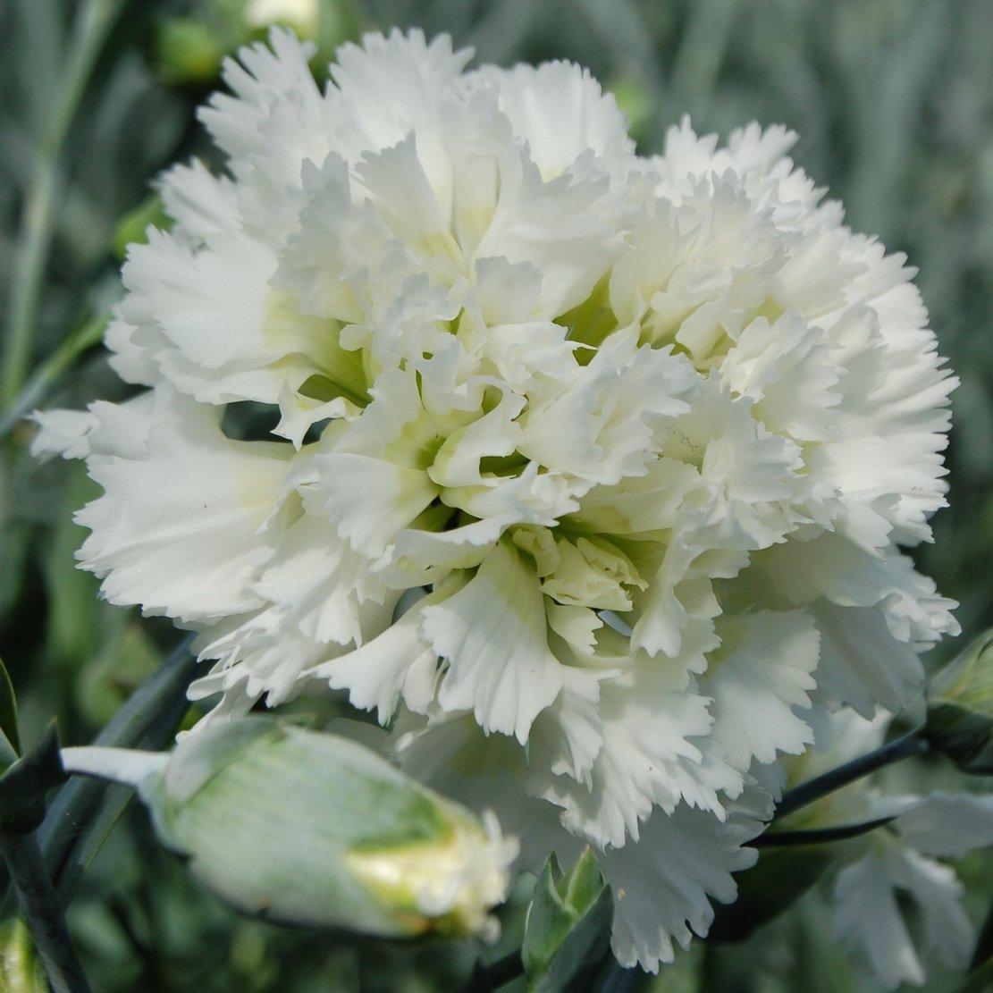 Dianthus-Mrs-Sinkins-1