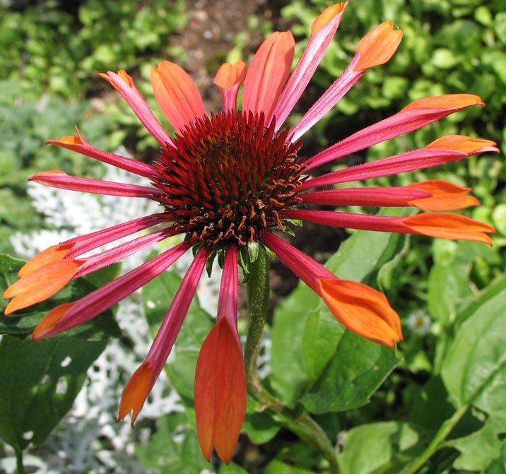 Echinacea-purpurea-Orange-Spider-1