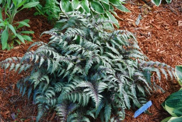 Кочедыжник ниппонский (Anisocampium niponicum, ранее Athyrium niponicum)