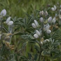 Люпин белый (Lupinus albus)