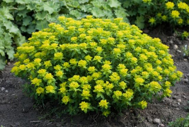 Молочай многоцветный (Euphorbia epithymoides)