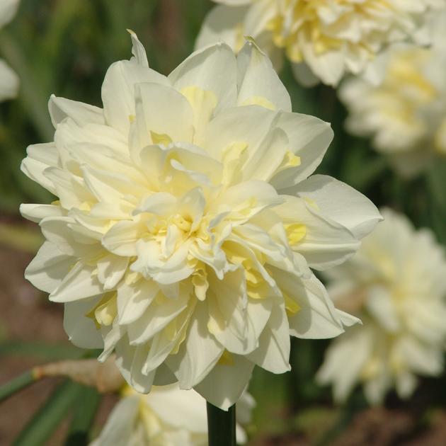 Narcissus-Irene-Copeland-1