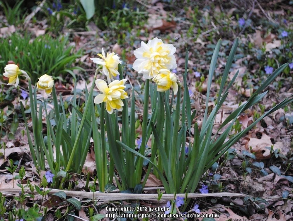 Narcissus-Irene-Copeland-3