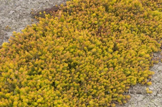 Очиток скальный, или Седум скальный (Sedum rupestre)