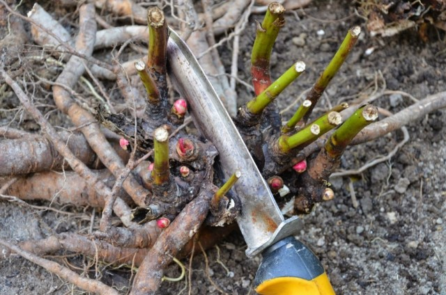 Разделение куста травянистого пиона