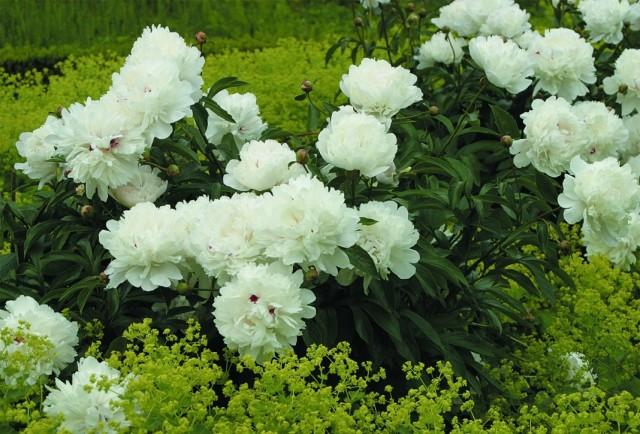 Пион молочноцветковый «Фестива Максима» (Paeonia lactiflora 'Festiva Maxima')
