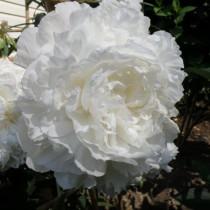 Пион травянистый «Энн Казинс» (Paeonia 'Ann Cousins')