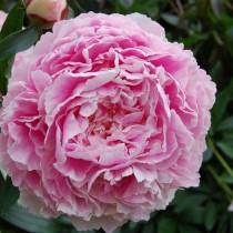Пион травянистый «Сара Бернар» (Paeonia 'Sarah Bernhardt')