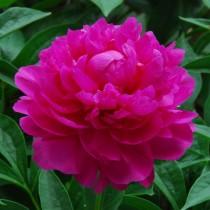 Пион травянистый «Да Фу Гай» (Ричи) (Paeonia 'Da Fu Gui'). Форма цветка махровая шаровидная
