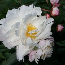 Пион травянистый «Джеймс Келвей» (Paeonia 'James Kelway'). Форма цветка розовидная