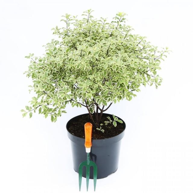 Питтоспорум тонколистный (Pittosporum tenuifolium)