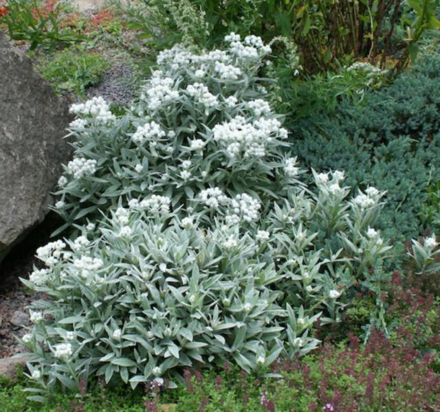 Полынь Стеллера (Artemisia stelleriana)
