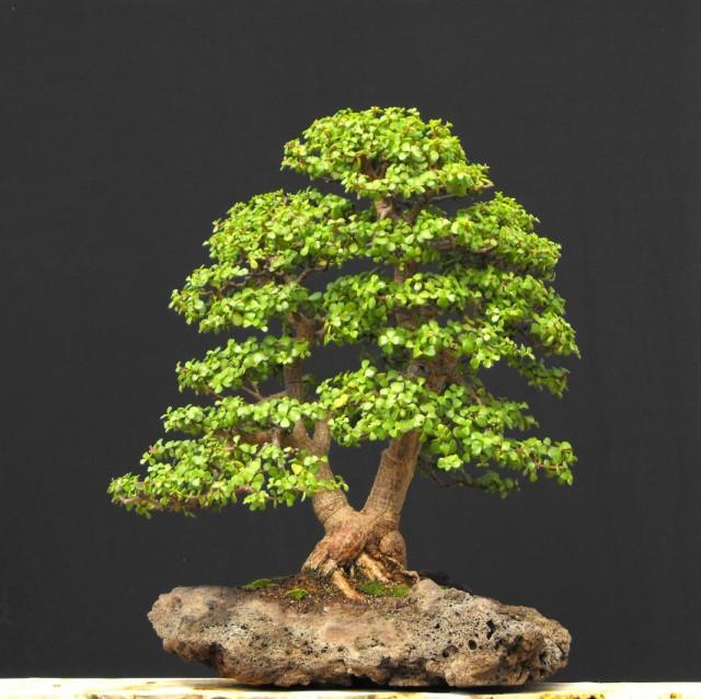 Портулакария африканская (Portulacaria afra)