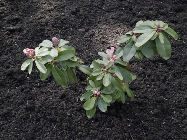 Посадка молодого куста рододендрона