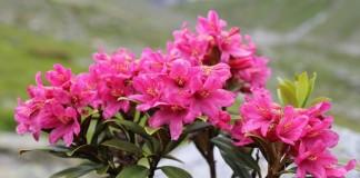 Рододeндрон (Rhododendron)