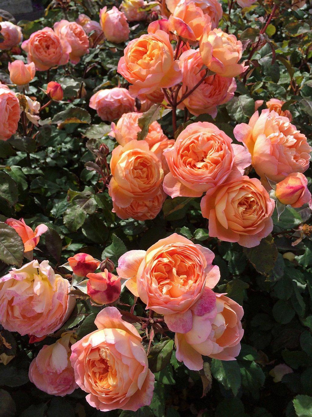 Rosa-Lady-Emma-Hamilton-2