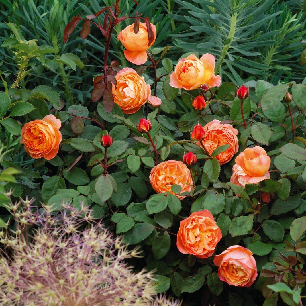 Rosa-Lady-Emma-Hamilton-3