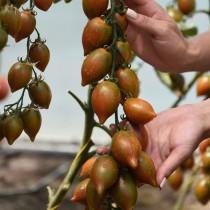 Томат сорт «Гранатовая капля», серия семян «Вкуснотека»
