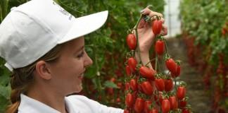 Самые вкусные томаты от агрохолдинга ПОИСК!