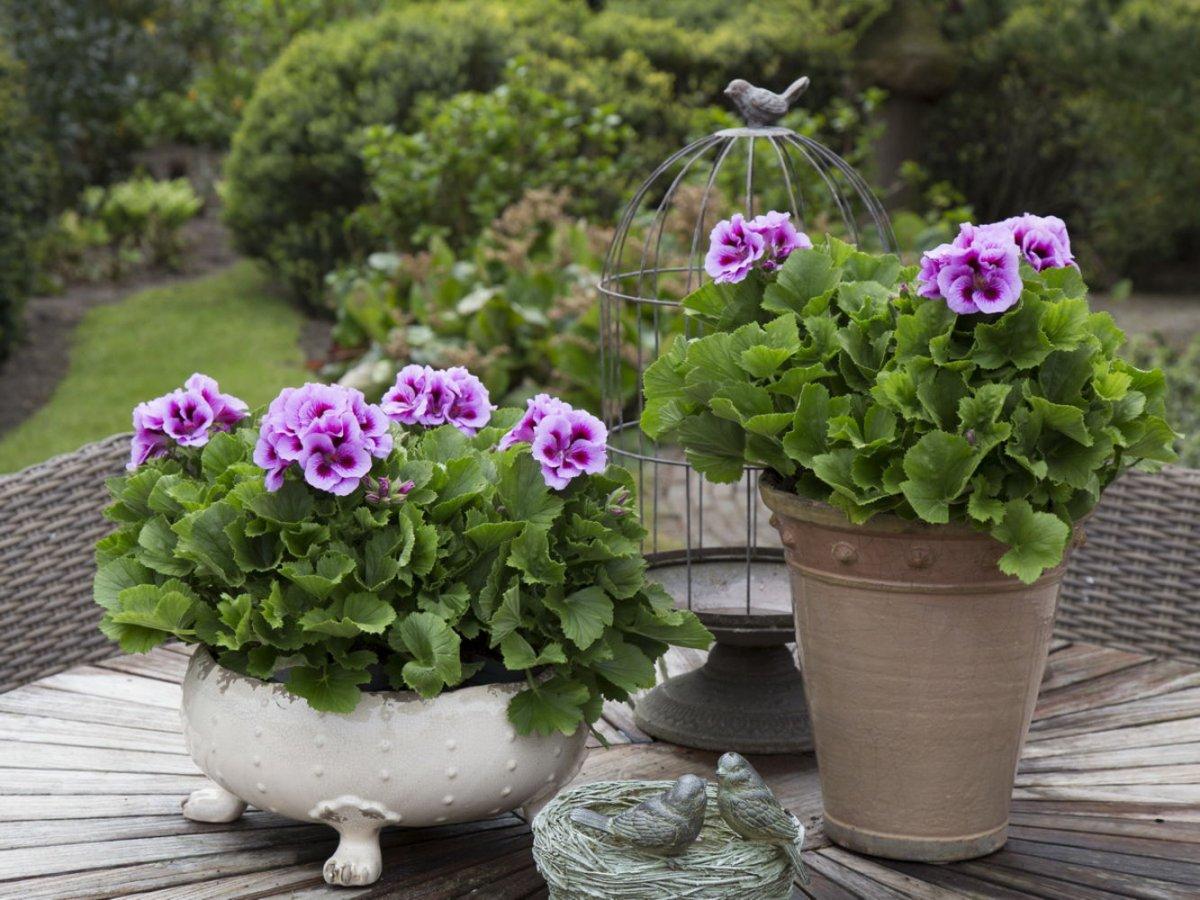 Герань фото цветов в саду