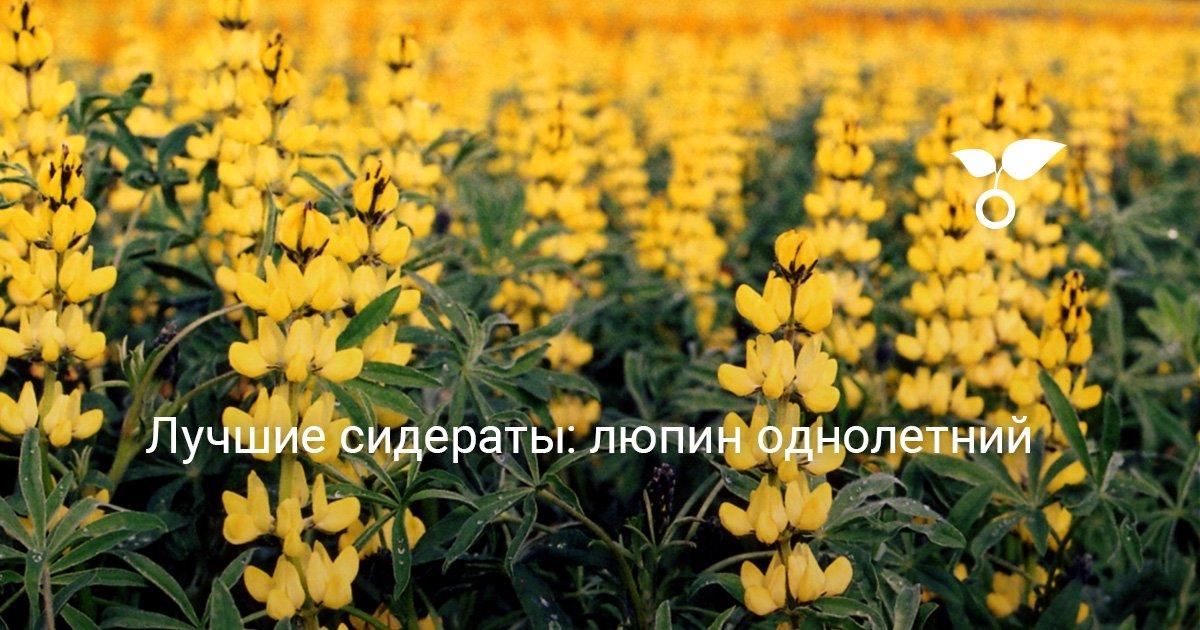Люпин узколистный семена