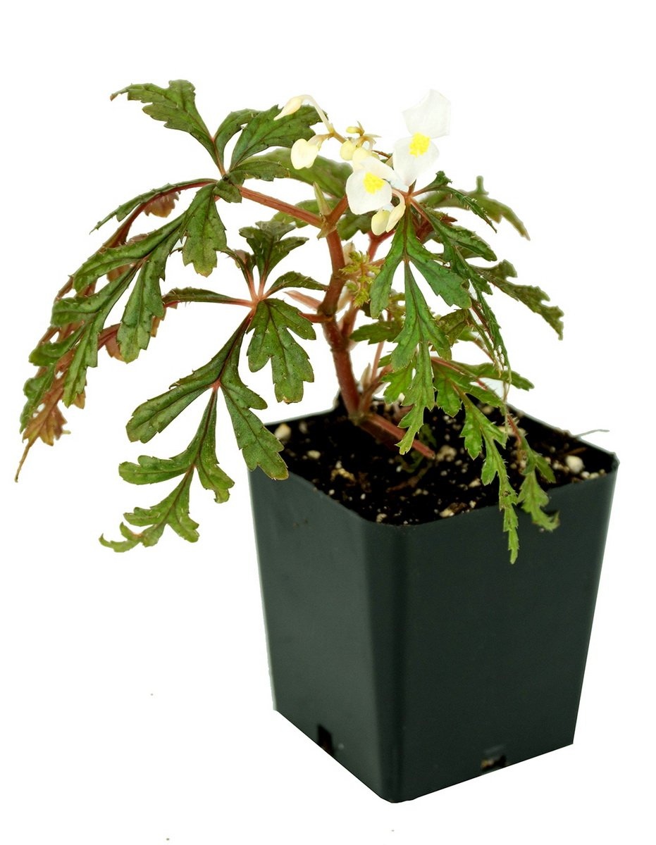 Begonia-polilloensis-2