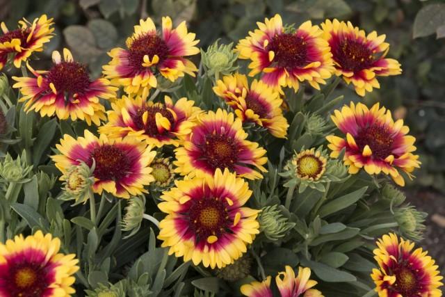 Гайллардия крупноцветковая (Gaillardia grandiflora)