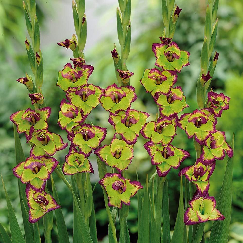 Gladiolus-Flevo-Laguna-3