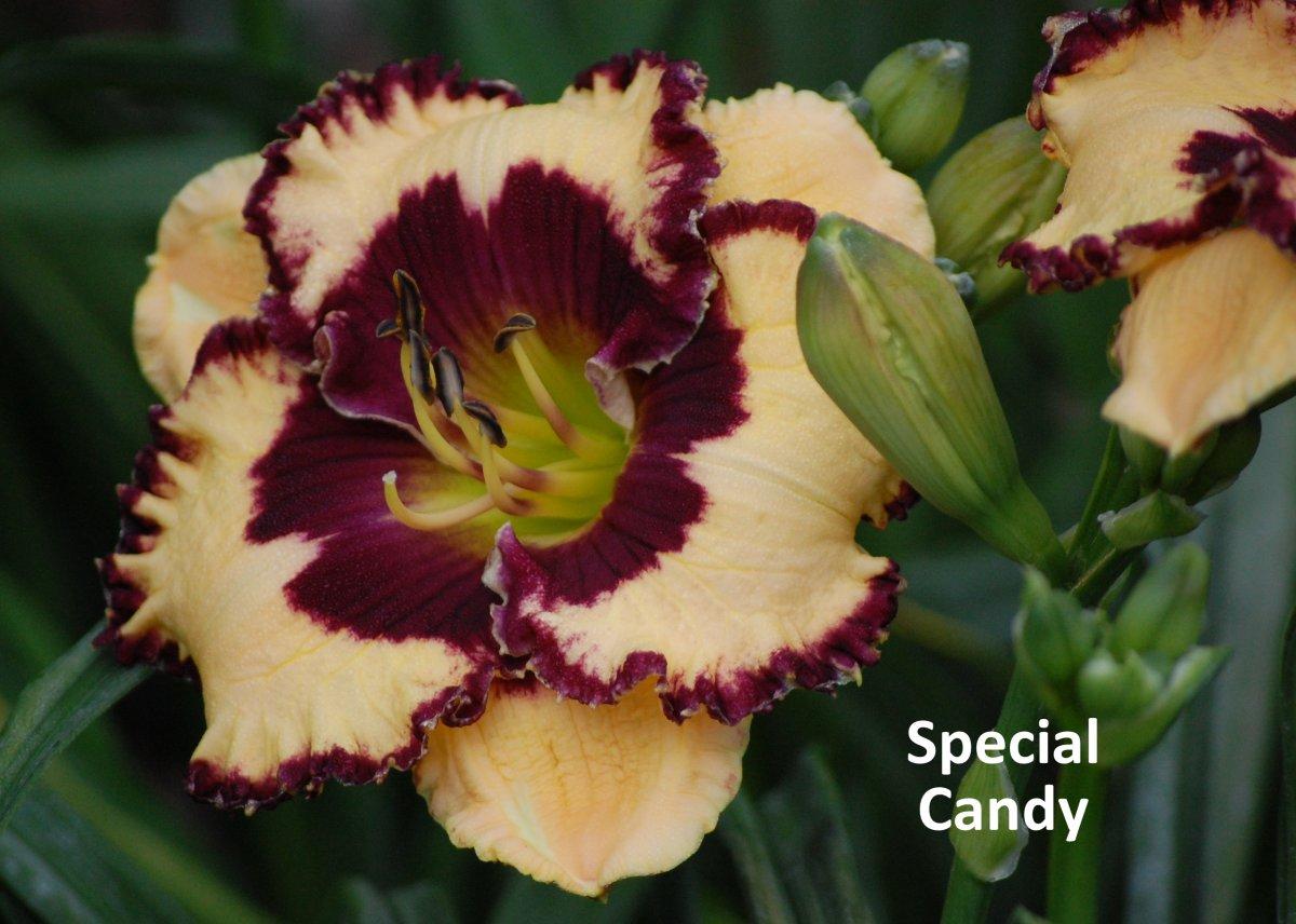 Hemerocallis-Special-Candy-1