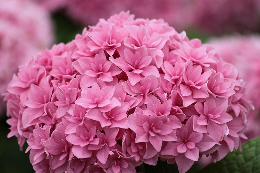 Hydrangea-macrophylla-Perfection-1