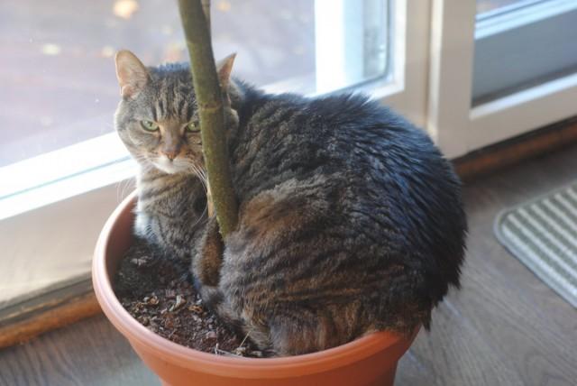 Кошка может растаскивать грязь если лежит в горшке