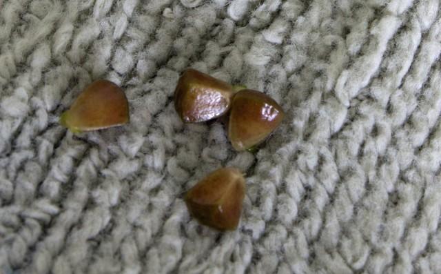 Семена моалюцеллы