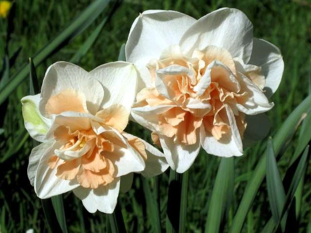 Narcissus-Delnashaugh-1