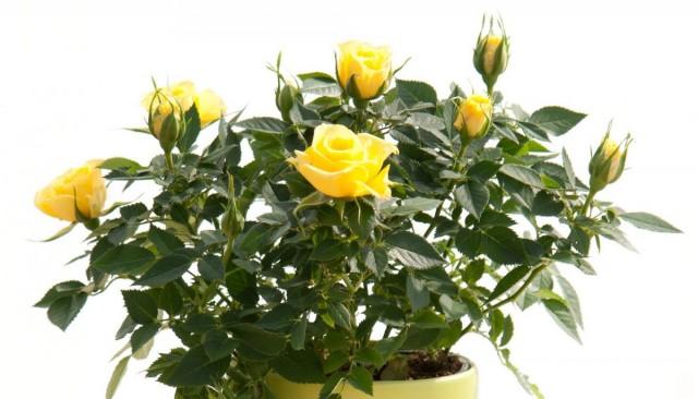 Комнатная роза в кашпо