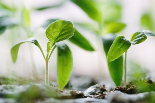 Основные ошибки при выращивании рассады