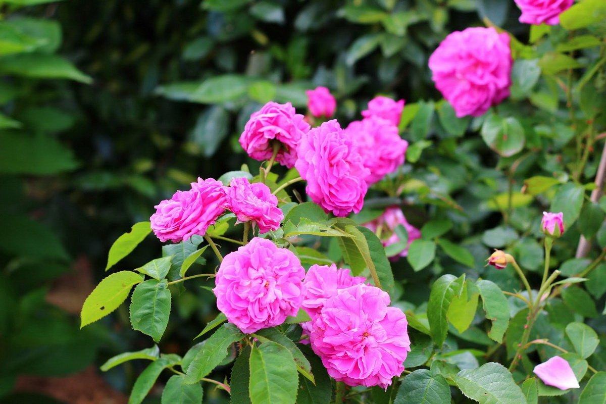 Rose-Baronne-Prevost-1