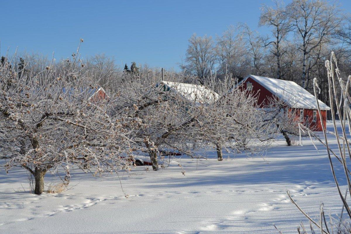 Надо ли утаптывать снег вокруг плодовых деревьев? — Ботаничка.ru