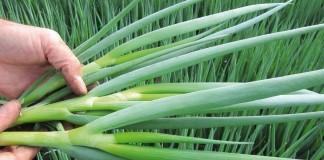 Лук-батун, или Татарка, или Дудчатый лук (Allium fistulosum)