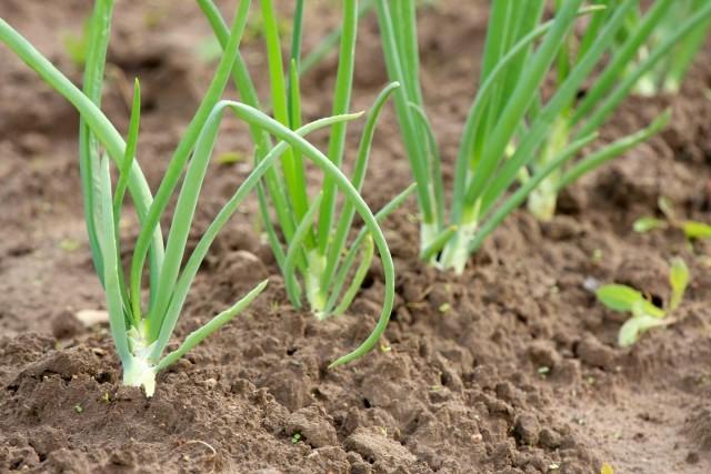 Выращивание лука-батуна в открытом грунте