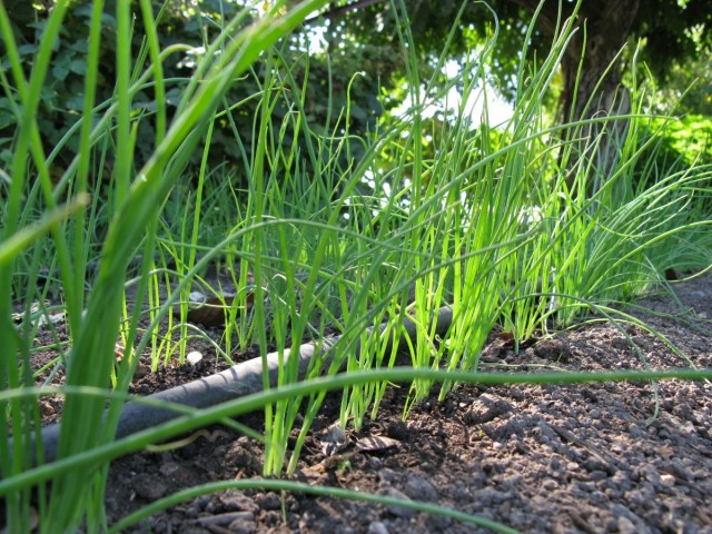 Молодая рассада лука-батуна, высаженная в грунт