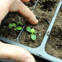Посадка сеянца петунии в отдельный горшочек