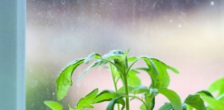 Вытягивание рассады томатов